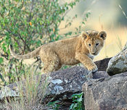 Löwe-Masai Mara Stockfotografie