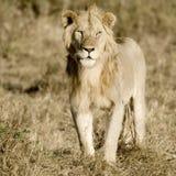 Löwe-Masai Mara Keny Stockfoto