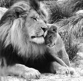 Löwe mit Jungem Lizenzfreie Stockbilder
