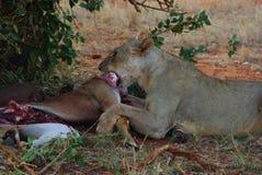 Löwe mit Opfer Stockbild