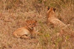 Löwe mit zwei Schätzchen Lizenzfreie Stockfotografie