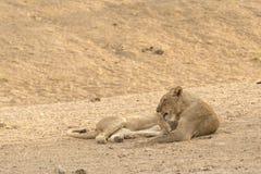 Löwe nach Restaurant Stockbild