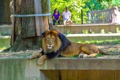 Löwe am nationalen Zoo Stockfotografie