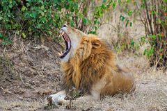 Löwe in Ol Kinyei, Masai Mara stockfotografie