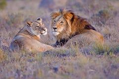 Löwe-Paare Lizenzfreies Stockbild