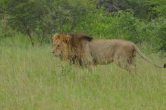 Löwe (Panthera Löwe) stockbild
