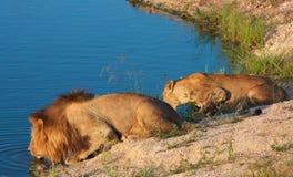 Löwe (Panthera Löwe) und Löwin Lizenzfreie Stockfotos