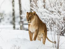 Löwe, Panthera Löwe, lionesse, das im Schnee, schauend nach links steht Horizontales Bild, schneebedeckte Bäume im Hintergrund lizenzfreie stockbilder