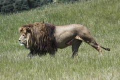 Löwe pirscht Opfer an Stockbild