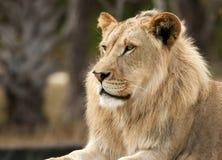 Löwe-Profil Stockfoto