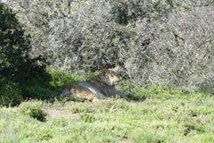 Löwe, Südafrika Lizenzfreies Stockbild