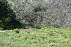 Löwe, Südafrika Lizenzfreie Stockfotos
