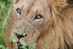 Löwe-südafrikanische Safari Stockbilder