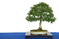 Löwe ` s Kopfahornbonsaibaum Acer-palmatum Lizenzfreie Stockfotografie