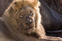 Löwe in Savute Lizenzfreies Stockbild