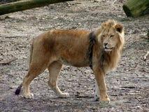 Löwe-Schauen Lizenzfreies Stockfoto
