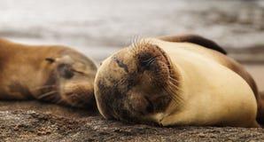 Löwe Schlafens Galapagos See Lizenzfreie Stockfotos