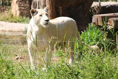 Löwe, sehen es in KHON- KAENzoo stockbild