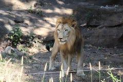 Löwe, sehen es in KHON- KAENzoo stockfoto