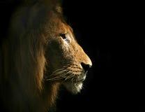 Löwe seitliches Portriat Lizenzfreies Stockfoto