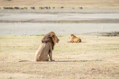 Löwe in Serengeti Stockbild