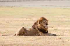 Löwe in Serengeti Stockbilder