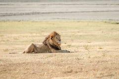 Löwe in Serengeti Stockfotografie