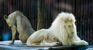 Löwe siesta2 Stockbild