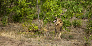 Löwe in Simbabwe Stockfotografie