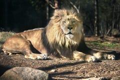 Löwe in sonnen- Sunny Day - ein Sonnenbad nehmend Stockbilder