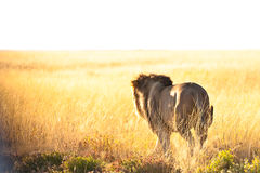 Löwe am Sonnenaufgang Lizenzfreies Stockbild