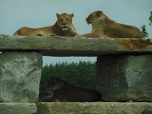 3 Löwe-Stillstehen stockbild