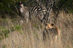 Löwe u. Zebra Stockfotografie