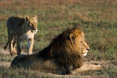 Löwe und Löwin. Lizenzfreie Stockfotos