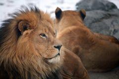Löwe und Löwin Stockbilder