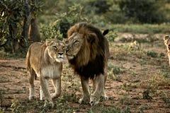 Löwe und Löwin Stockfotografie