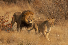 Löwe und Löwin Lizenzfreies Stockbild