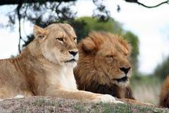 Löwe und Löwin Lizenzfreies Stockfoto