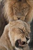 Löwe und Löwin stockfoto