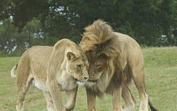 Löwe und Löwin in der Liebe Lizenzfreie Stockfotos