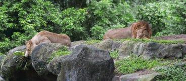 Löwe und Löwin, die auf Steinen und Gras im Singapur-Zoo stillstehen Lizenzfreies Stockbild