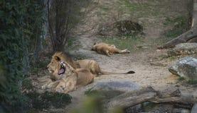 Löwe und Löwin, die am Zoo liegen und gähnen stockfotos