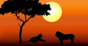 Löwe und Löwin im Sonnenuntergang Stockbild