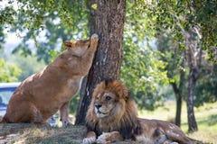 Löwe und Löwin neben einem Baum stockbild