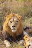 Löwe und Löwin (Panthera Löwe) Lizenzfreies Stockbild