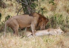 Löwe- und Löwinanschluß Stockfotos