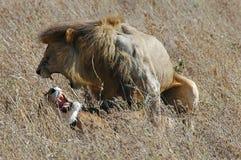 Löwe- und Löwingehilfe lizenzfreie stockbilder