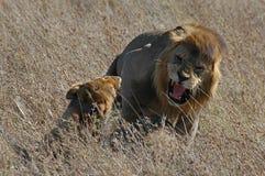 Löwe- und Löwingehilfe Lizenzfreies Stockfoto