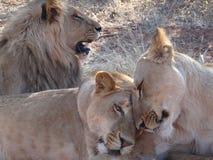 Löwe und Löwinnen Stockfotografie