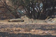 Löwe- und Löwinstillstehen Lizenzfreie Stockfotos